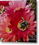 Red Cactus Flower With Bumble Bee Metal Print
