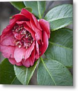 Red Camellia Squared Metal Print by Teresa Mucha