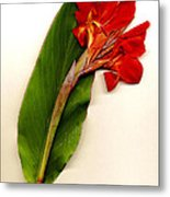 Red Canna Metal Print