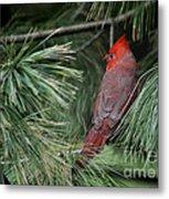 Red Cardinal In Green Pine Metal Print