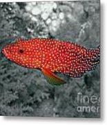 Red Coral Cod Metal Print by Serena Bowles