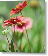 Red Daisies  Metal Print