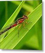 Red Damsel Fly Metal Print