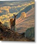 Red Deer Calf Metal Print