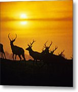 Red Deer Stags Metal Print