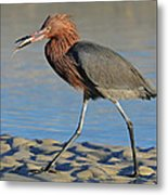 Red Egret With Fish Metal Print