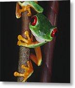 Red-eyed Tree Frog Agalychnis Callidryas Metal Print