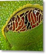 Red Eyed Tree Frog Eyelid Costa Rica Metal Print
