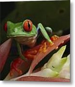 Red-eyed Tree Frog In Costa Rica Metal Print