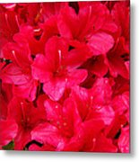 Red Floral Art Prints Rhododendron Flowers Rhodies Metal Print by Baslee Troutman