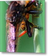 Red-footed Cannibal Fly With His Prey Metal Print by Maureen  McDonald