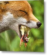 Red Fox Eating A Chick Metal Print