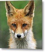 Red Fox Vulpes Vulpes, Hoge Veluwe Metal Print