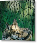Red Fox Vulpes Vulpes In A Soft Trap Metal Print by Joel Sartore