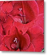 Red Gladiolus Metal Print by Susan Herber