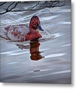 Red Headed Duck Metal Print