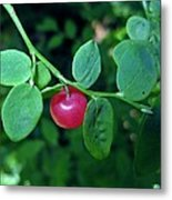 Red Huckleberry Metal Print