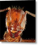 Red Imported Fire Ant Solenopsis Metal Print