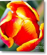 Red In A Tulip Metal Print