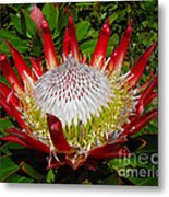 Red King Protea Metal Print