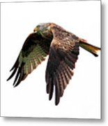 Red Kite In Flight Metal Print by Grant Glendinning Photography