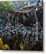 Red Mangrove Rhizophora Mangle Aerial Metal Print