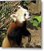 Red Panda Feeding Time Metal Print