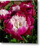 Red Peony Flowers Series 4 Metal Print