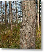 Red Pine Forest Metal Print