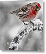 Red Poll - Cold But Hungry Metal Print
