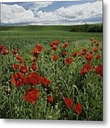 Red Poppies Edge A Field Near Moscow Metal Print