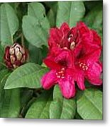 Red Rhododendron Blossom Metal Print