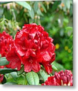 Red Rhododendron Floral Art Prints Rhodies Metal Print