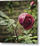 Red Rose In Water Drops Metal Print