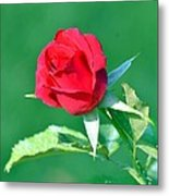 Red Rose With Star-shaped Collar Metal Print