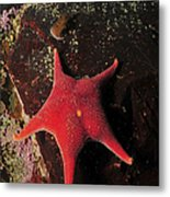 Red Sea Star And Limpet On Brown Rock Metal Print