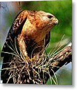 Red-shouldered Hawk With Breakfast Metal Print