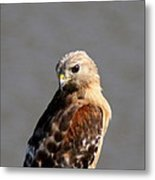 Red-shouldered Metal Print