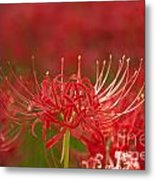 Red Spider Lily-1 Metal Print