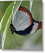 Red Spot Diadem Butterfly Metal Print