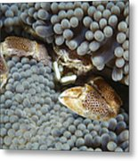 Red-spotted Porcelain Crab Hiding Metal Print
