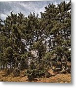 Red Spruce On Whitetop Mountain Metal Print
