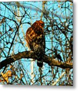 Red Tail Hawk Visitor Metal Print