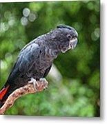 Red-tailed Black-cockatoo Metal Print