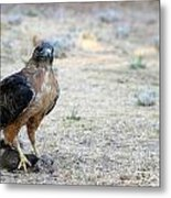 Red Tailed Hawk Catch Metal Print