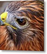 Red-tailed Hawk Close Up Metal Print