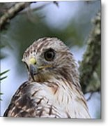 Red-tailed Hawk Has Superior Vision Metal Print