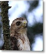 Red-tailed Hawk - Hawkeye Metal Print