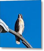 Red-tailed Hawk Surveying Territory Metal Print