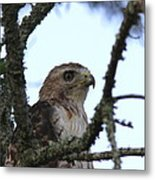 Red-tailed Hawk - Young And The Old Metal Print